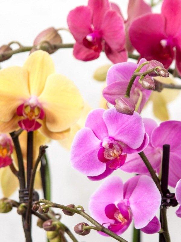 Vainilla y otras orquídeas en perfumes
